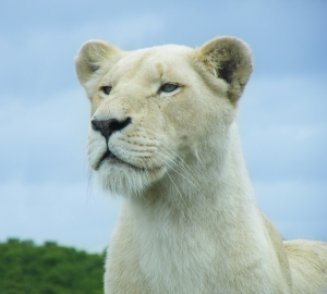Lioness-BudTheChud